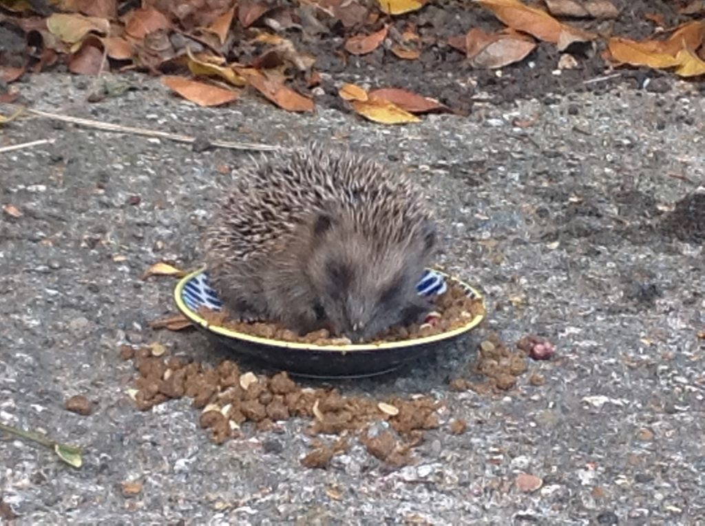 hedgehog feeding habits