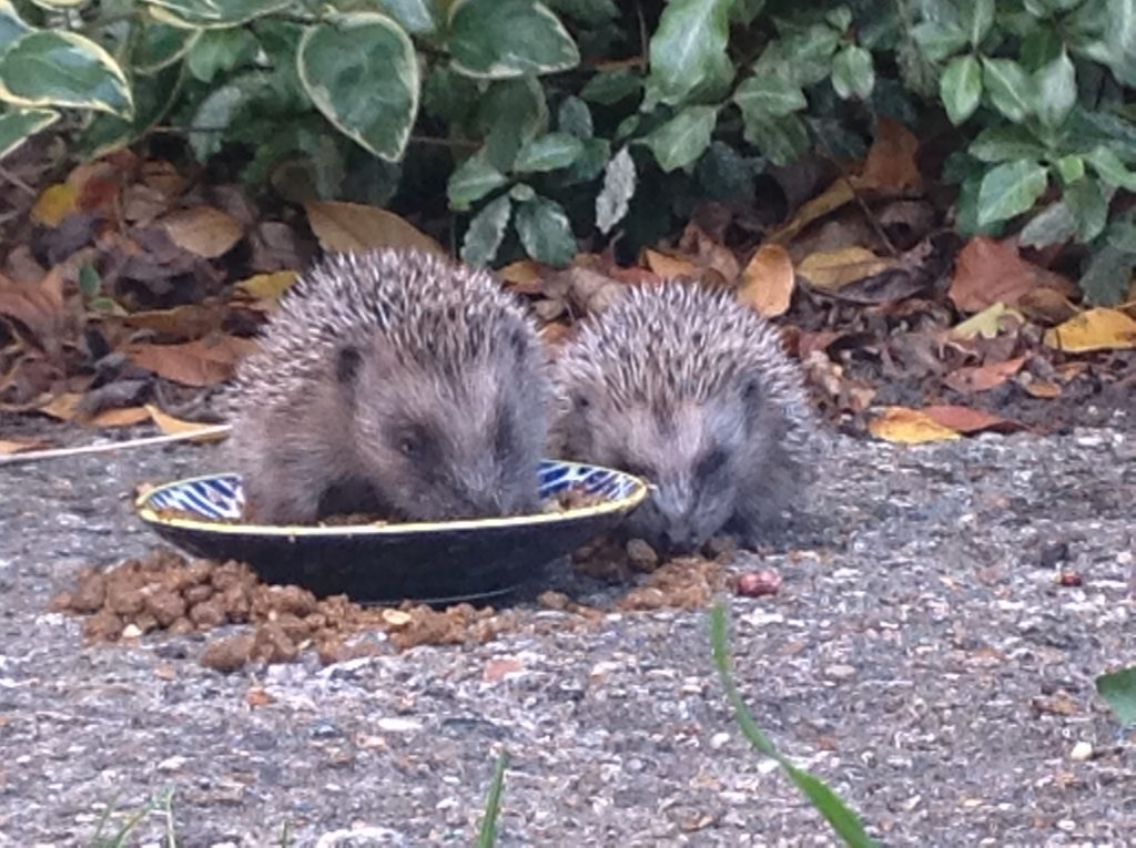 hedgehogs feeding