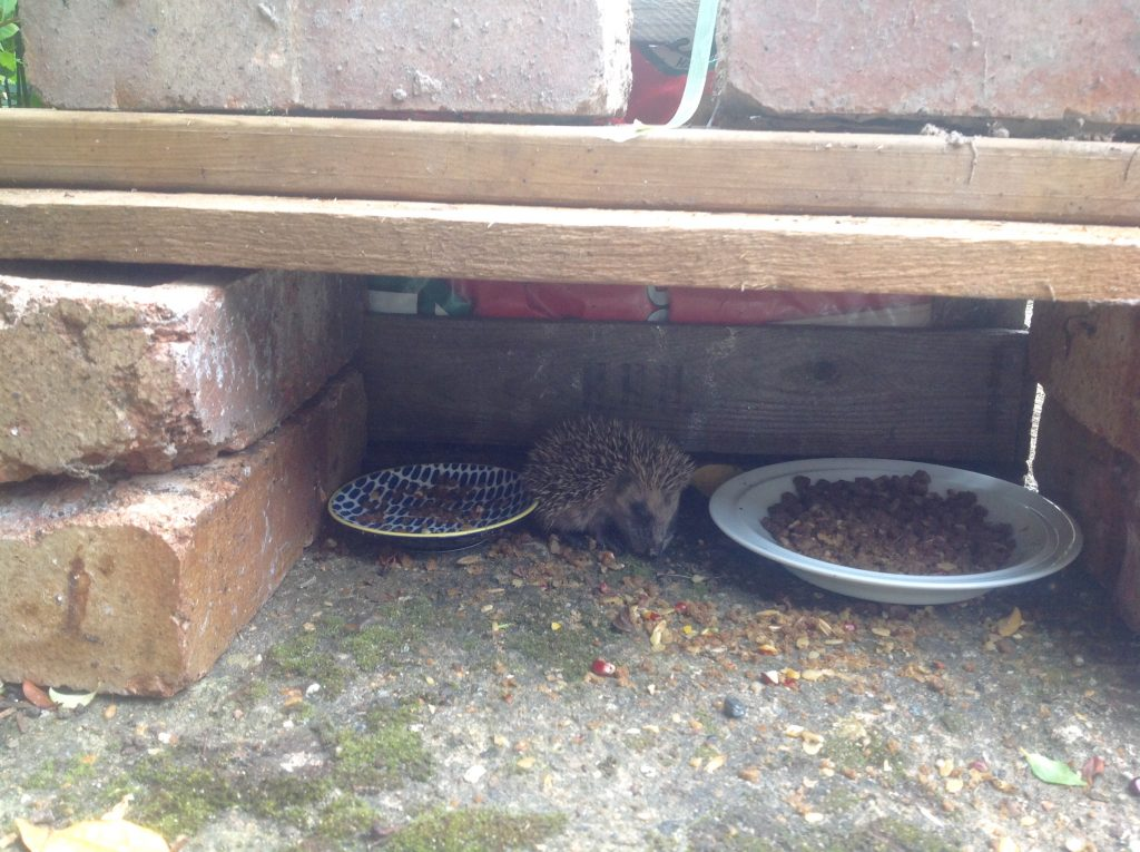 baby hedgehog feeding shelter